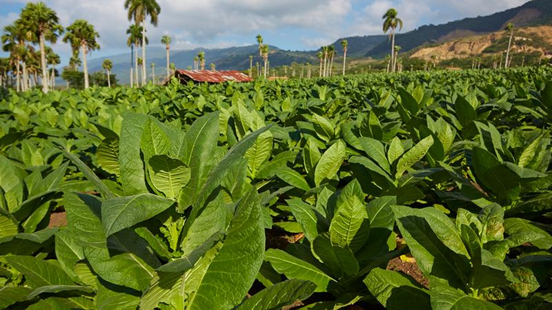 José Mendez & Co.'s tobacco fields in Santiago, Dominican Republic.