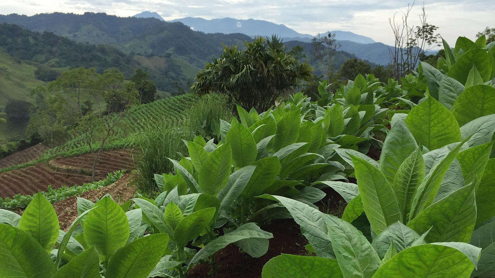 Philip Wynn Grows Bumper Crop In Costa Rica