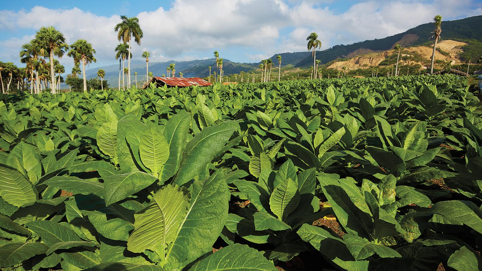 A field of sun-grown tobacco flourishes in a valley in the Dominican Republic. The crops grow from natural fertilizer.