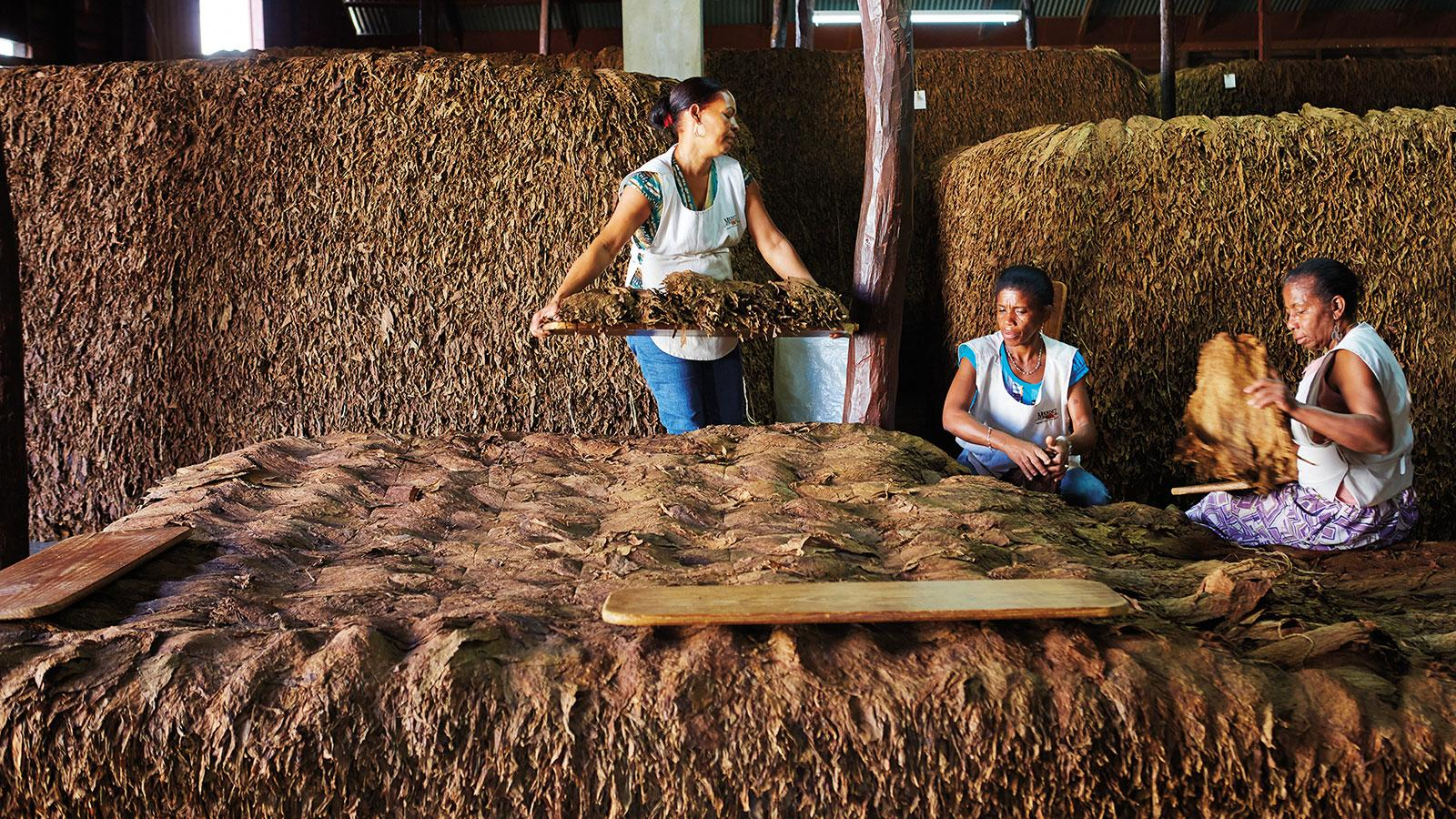 Tobacco arranged in enormous piles (pilónes) for fermentation. The combination of pressure, water and naturally occurring heat will rid the tobacco of undesirable properties like bitterness.