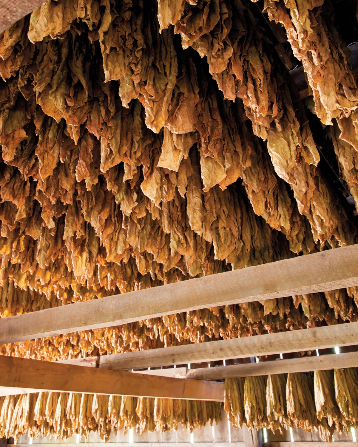 A barn full of cured Connecticut shade wrapper.