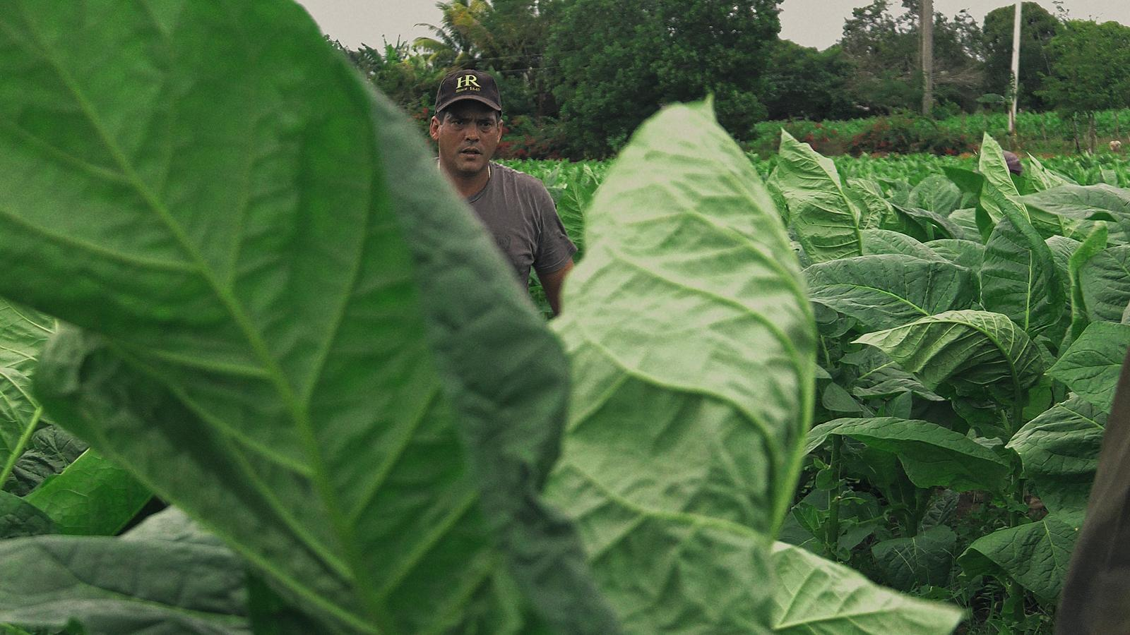 The film chronicles the challenges Robaina faces as he tries to uphold his family name and rescue his imperiled crop of tobacco.
