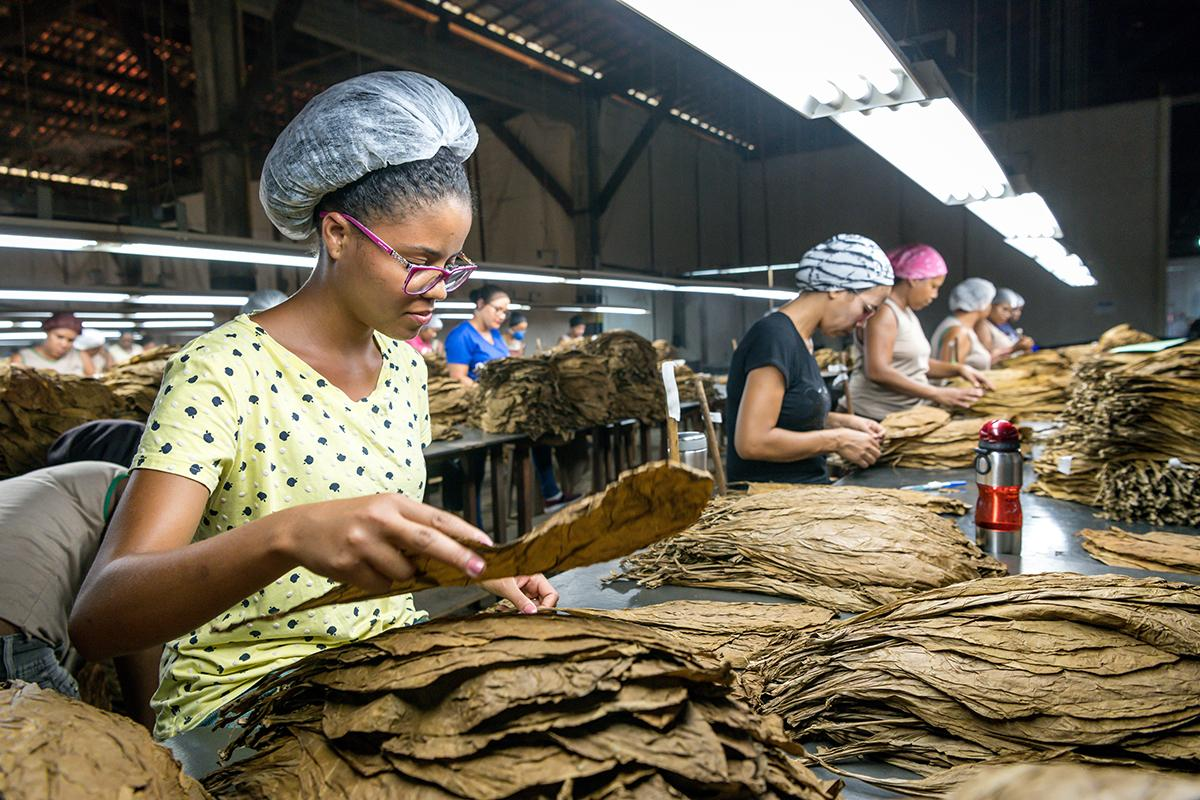 Villiger Do Brasil produces cigars using only Brazilian tobacco. Here, workers sort the Brazilian tobacco by size and color.