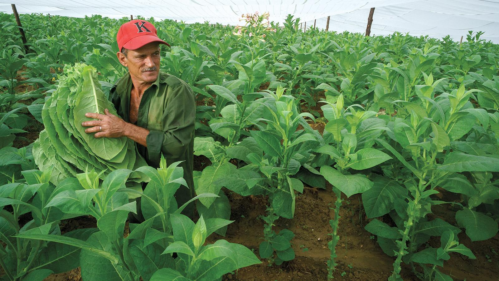 Cuba's Best Cigar Tobacco Farms