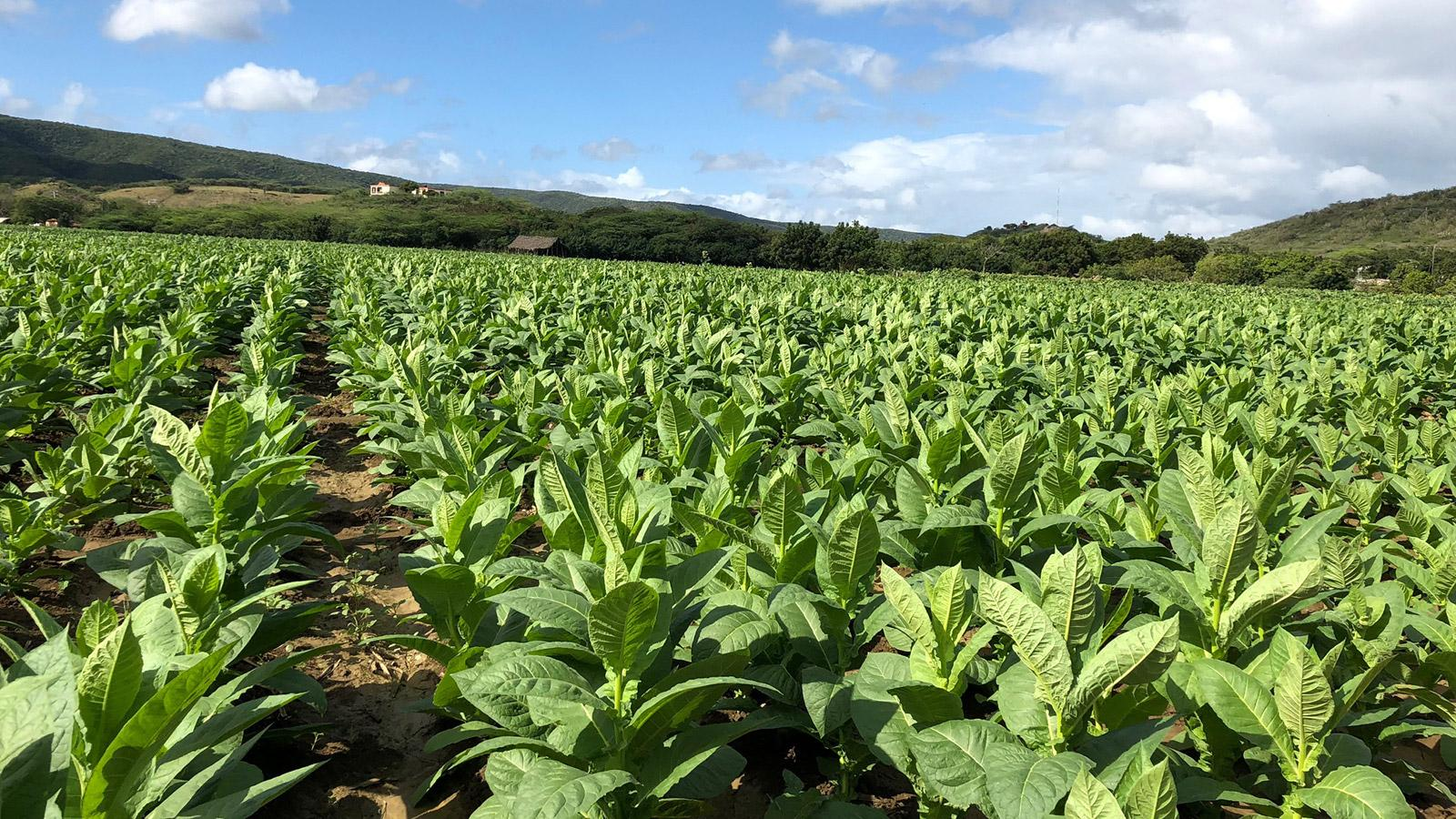Crop Report: La Canela Farm, The Dominican Republic