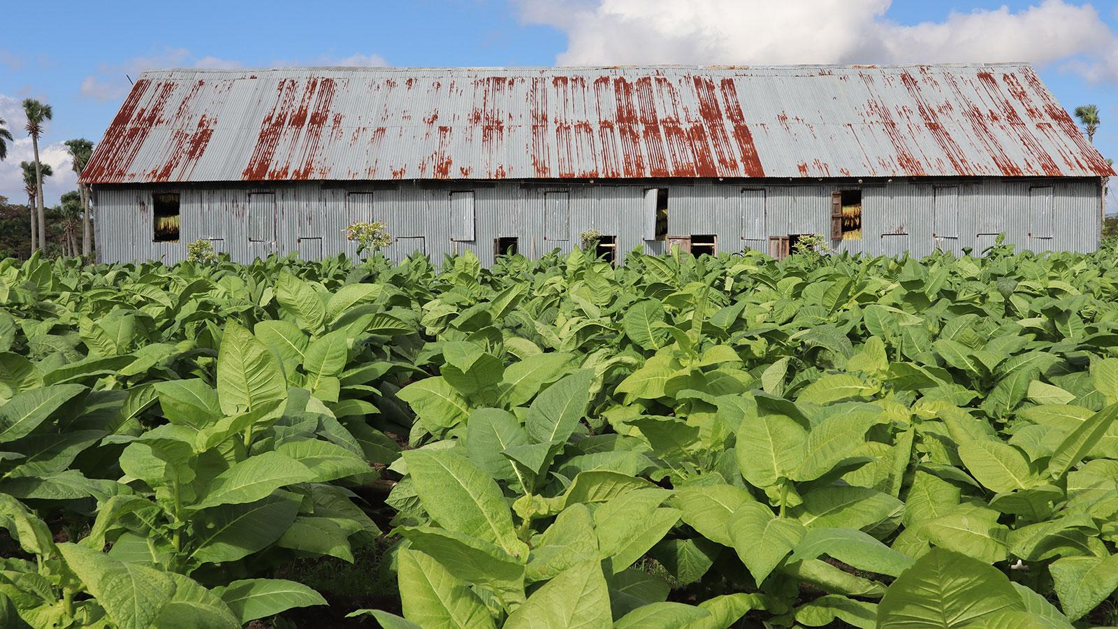 Drought In Dominican Republic Means Smaller But Better Tobacco Harvest