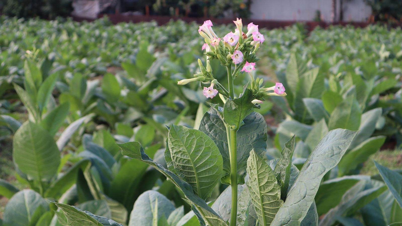 Dominican tobacco field