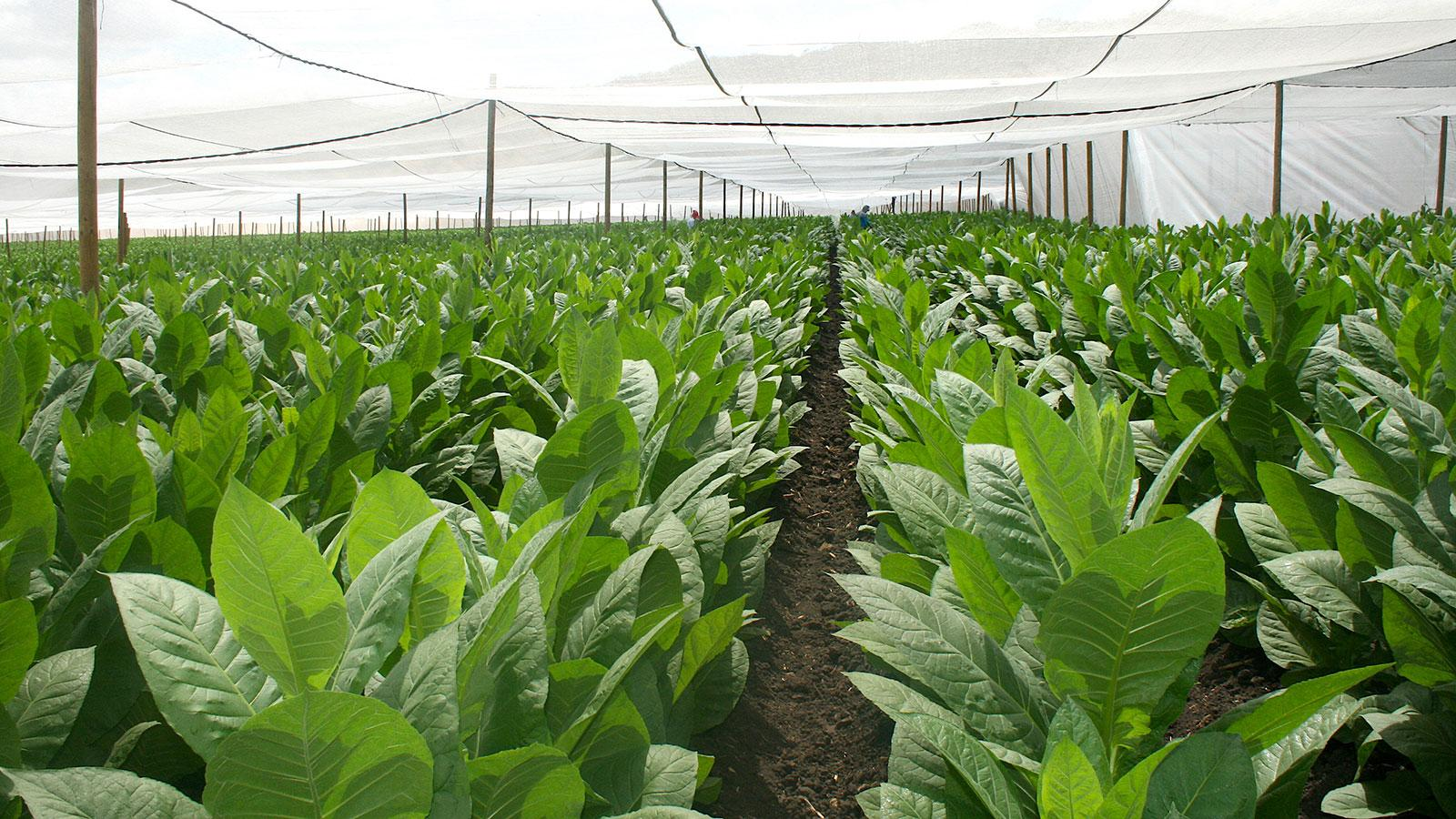 Nicaragua's Tobacco Growers Optimistic About Crops Despite Wind
