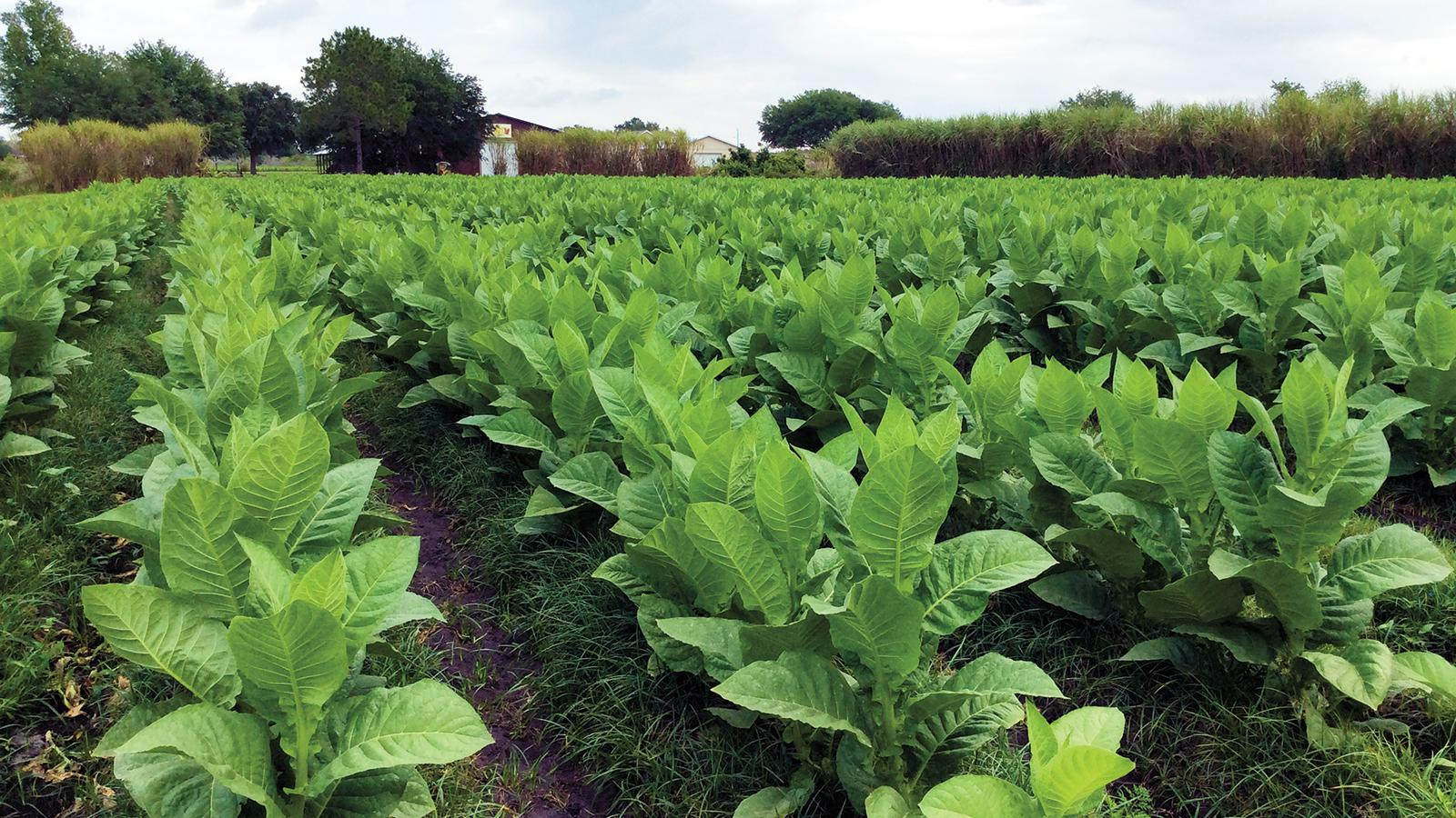 A tobacco field in Clermont, Florida.