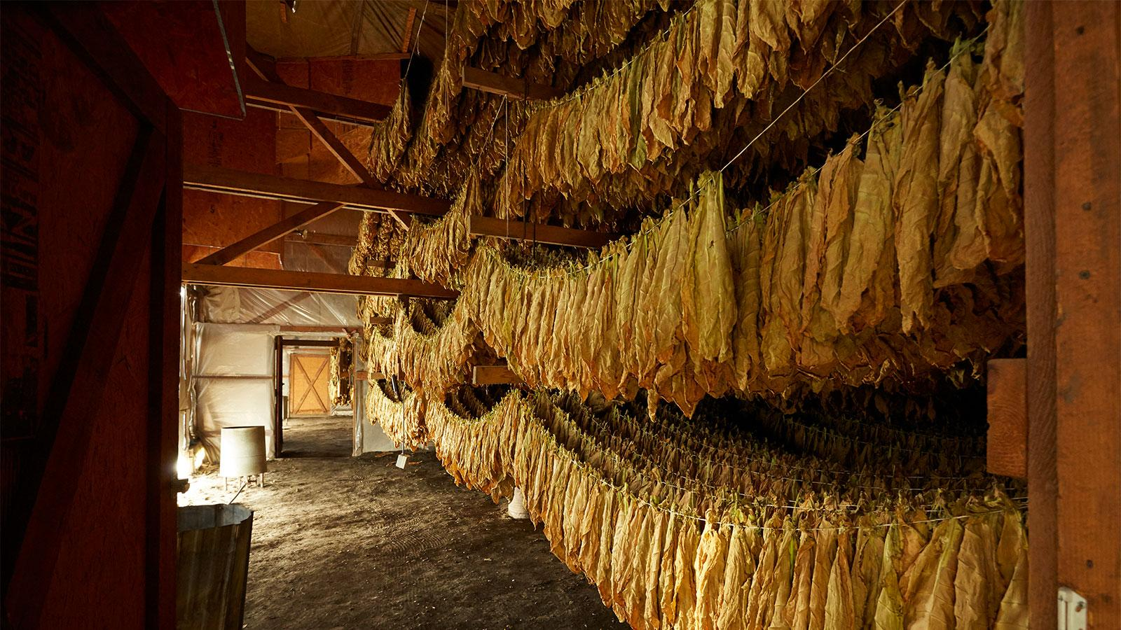 Shade leaves are strung together in small tied groupings or hands of tobacco and festooned across the rafters of a curing barn.