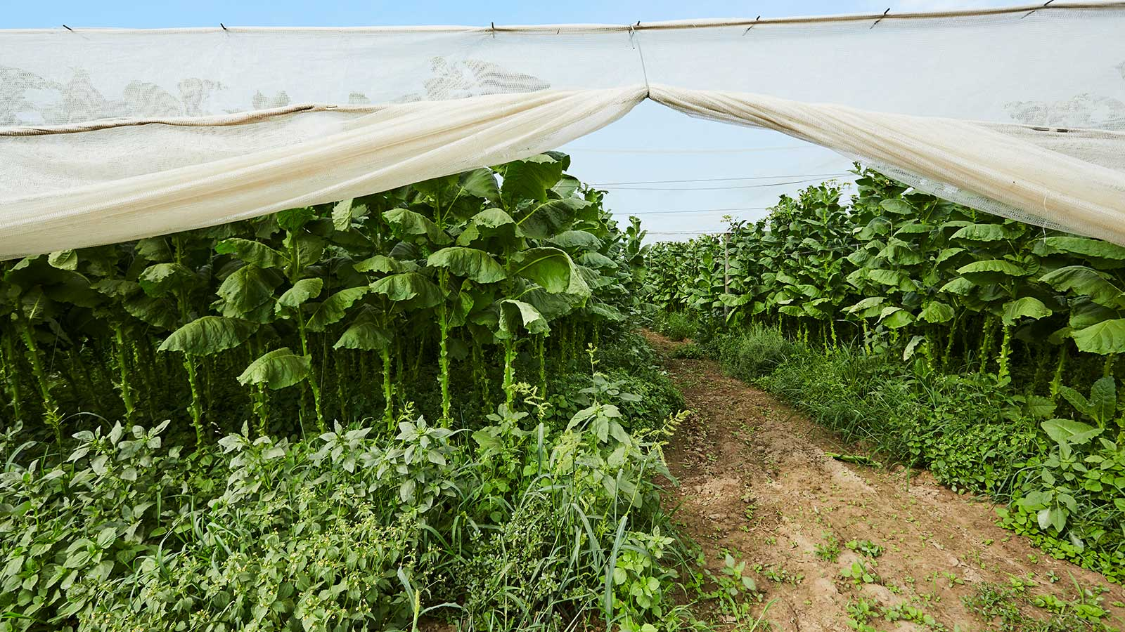 Connecticut Shade is grown under elaborate tents of screen-like netting made of cheesecloth that filter the sun, making for thinner, finer tobacco.