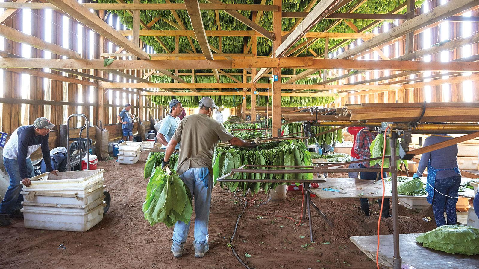 Shade leaves are gathered, sewn together and hung in barns.
