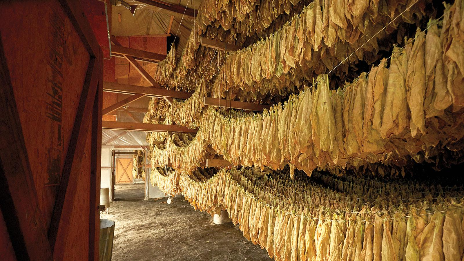 Rows and rows of shade tobacco leaves hang in a barn on the S. Arnold & Co. farm. The leaves will cure in the barn for at least 40 days, developing a golden brown color.