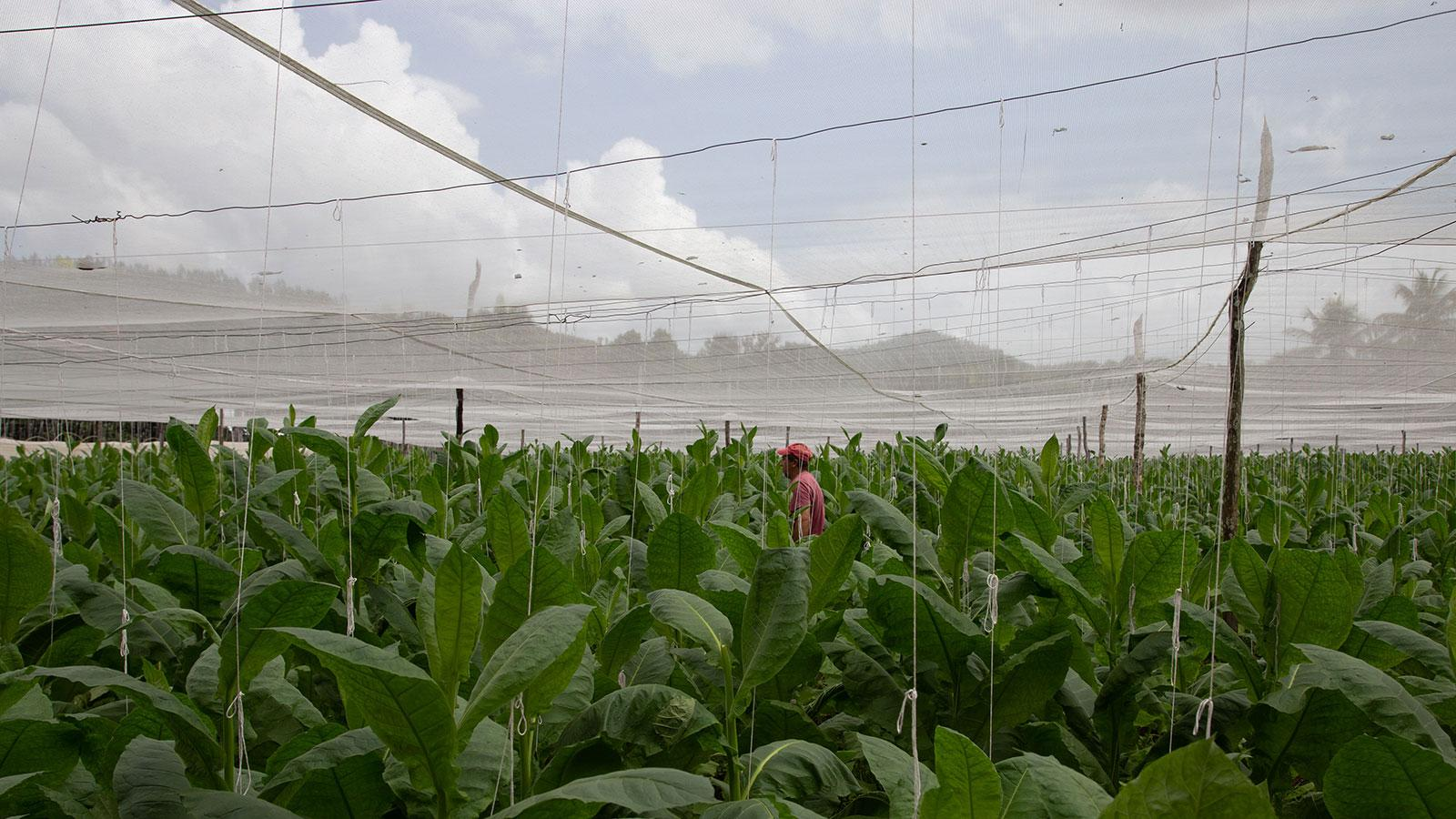 Lush tobacco as far as the eye can see despite the difficult, rainy weather. These plants on the San Luis finca, the largest of Fuente's plantations, have been growing for about 45 days.