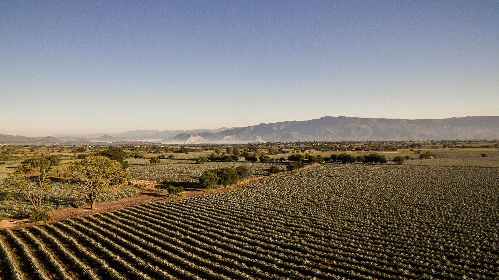 Agave field with mountains