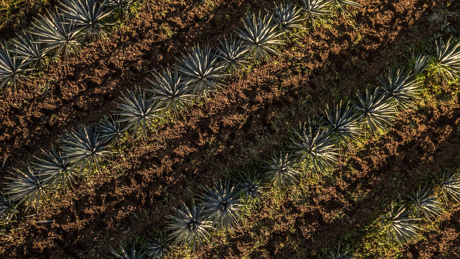 Rows of agave