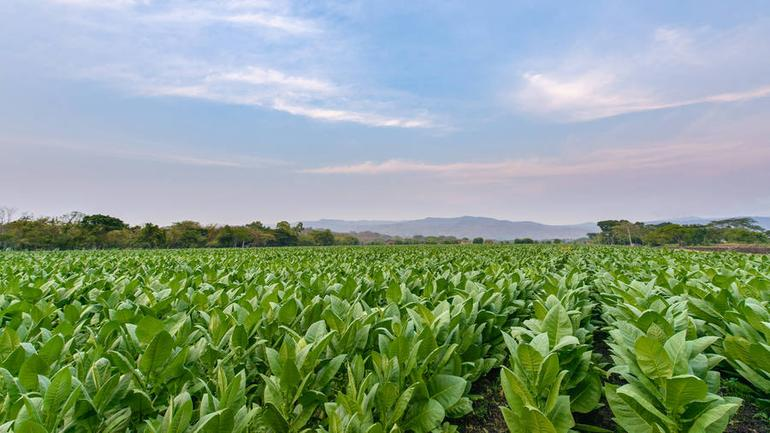 Crop Report: Nicaragua's Tobacco Season Extends into June