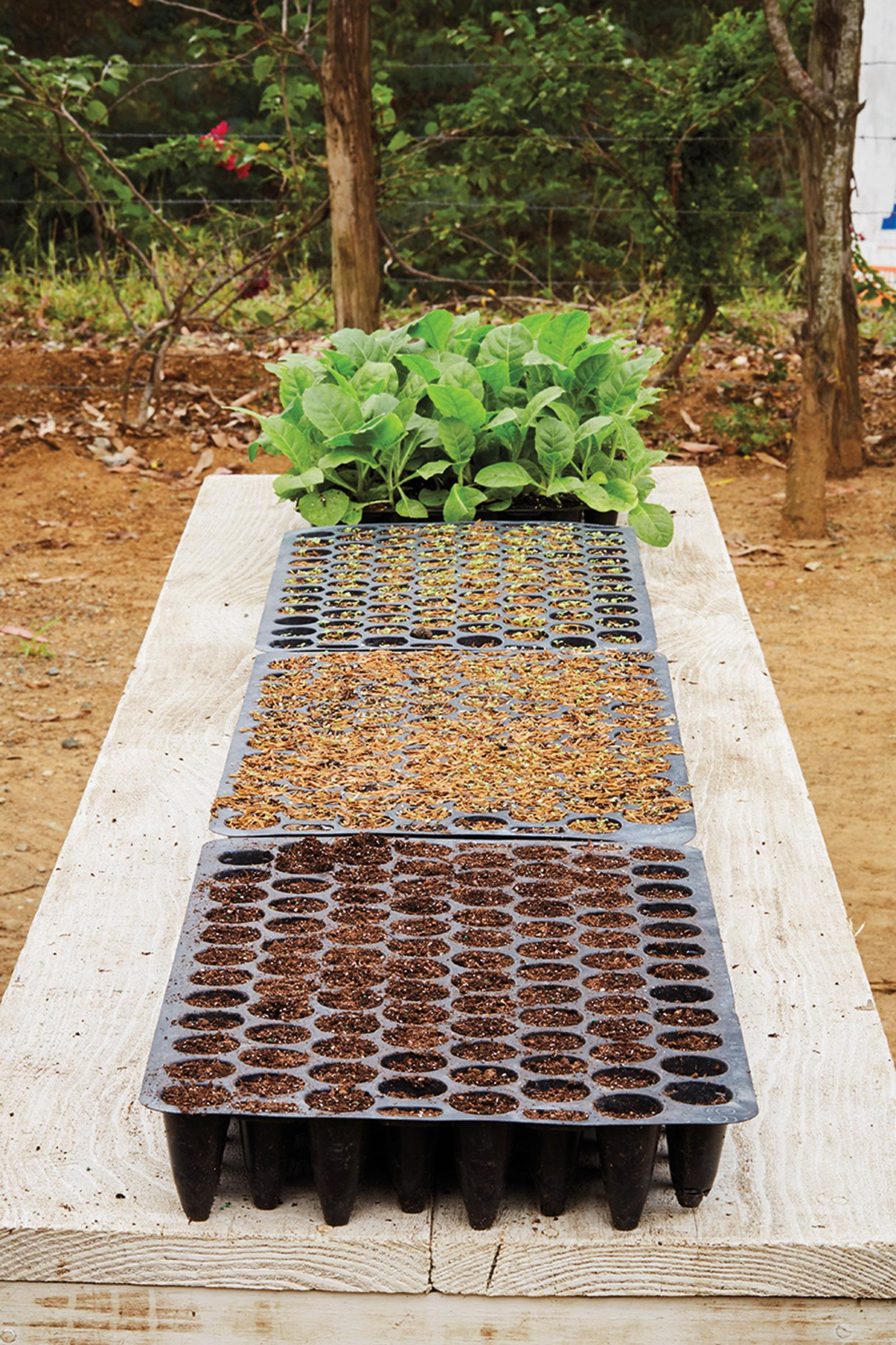 A germination station of seed trays in Mao, the Dominican Republic at General's farm. Seedlings must grow into plants beofre they go into the field.