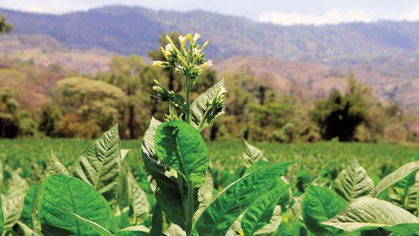 Yargüera tobacco for Altadis thrives in Honduras. The heirloom seed was brought to Honduras in the 1960s and recently resurrected for Altadis.