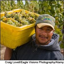 A vineyard worker brings in Sauvignon Blanc grapes in California's Carmel Valley.