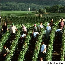 Pickers are already hard at work in Champagne.