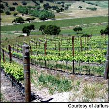 Verna's Vineyard in Santa Barbara County, source of an outstanding 2009 Syrah from Jaffurs.