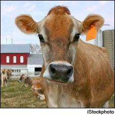 Dairy cows can blame it on the dog 20 percent less often if they eat their wine pomace every day.