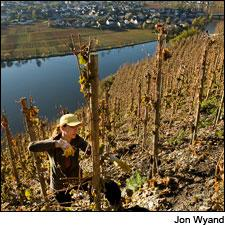 Harvesting Riesling in Germany's Mosel Valley is high altitude work.
