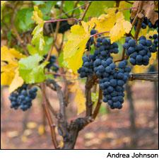 Pinot Noir waits to be picked for Penner-Ash wines in Oregon.