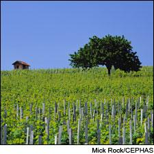 Vineyards in the Morgon district of France's Beaujolais region.