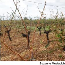 Hail stripped grapes and leaves from vines in Entre-Deux-Mers in 15 minutes.