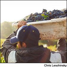 Harvesting California's finest grapes in 2013.