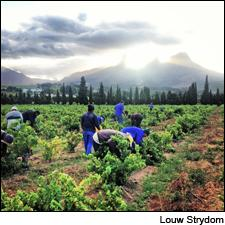 Workers pick grapes at Ken Forrester Vineyards in Stellenbosch.