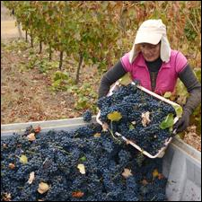A Concha y Toro worker picks Syrah in Chile's Maule Valley.