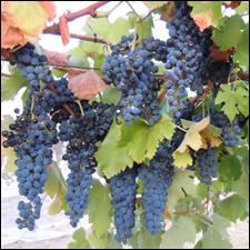 Grapes hang ripes and ready to pick at Heathcote II winery in Australia.