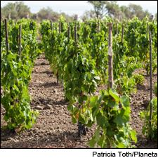 Planeta Winery has planted rare Catanese Nera vines in Sicily.