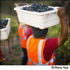 Vineyard workers bring in Grenache in California's Paso Robles.