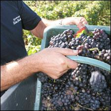A basket full of Pinot Noir grapes was destined for Nicolas Feuillatte Champagne.