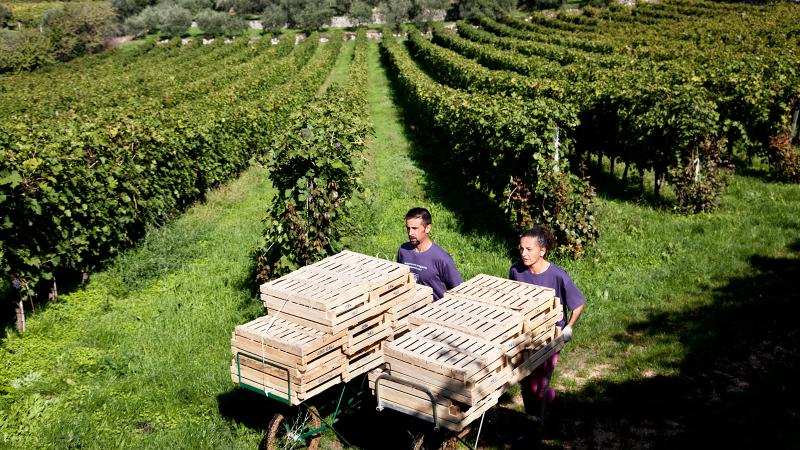 Grapes for Masi Amarone are carted off to the winery, where they will spend three to four months on drying racks.