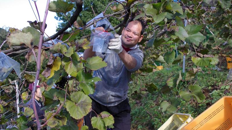 A student at Coco Farm & Winery helps harvest grapes.