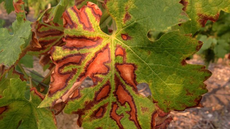 A Dire Threat to Grapevines