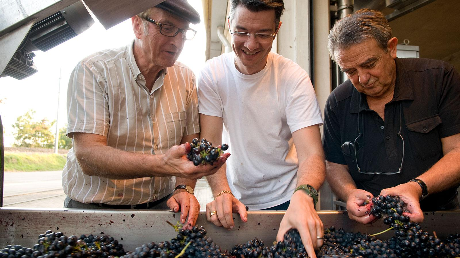 Philippe Guigal (center) sorts grapes with his father, Marcel (left).