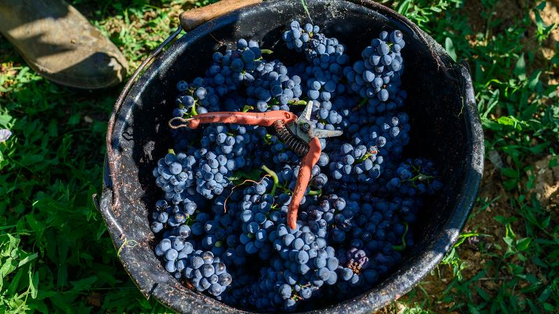 Freshly picked Pinot Noir at Château de Marsannay