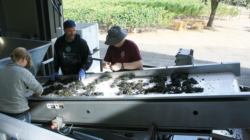 Benovia staff members sort through Pinot Noir bunches before they go into fermentation tanks.