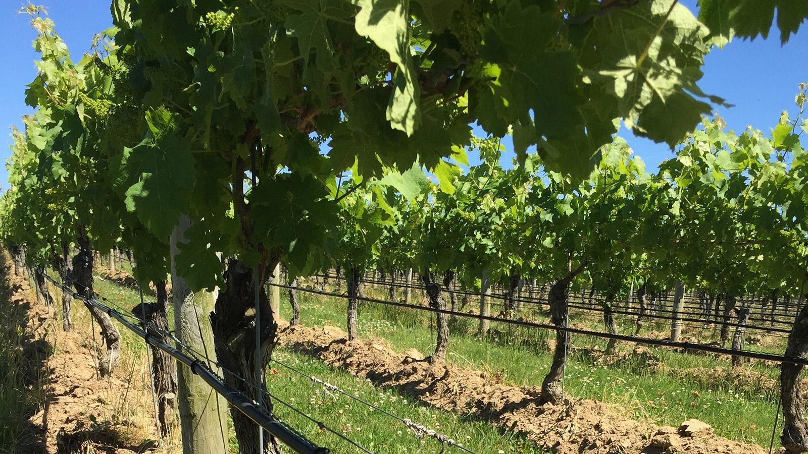 Limiting yields is an important part of the viticultural philosophy at Clovis Point.