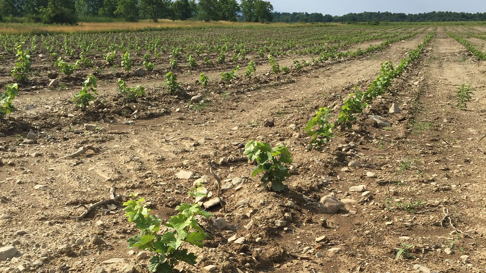 Forge's young vines came from the Hermann J. Wiemer nursery.