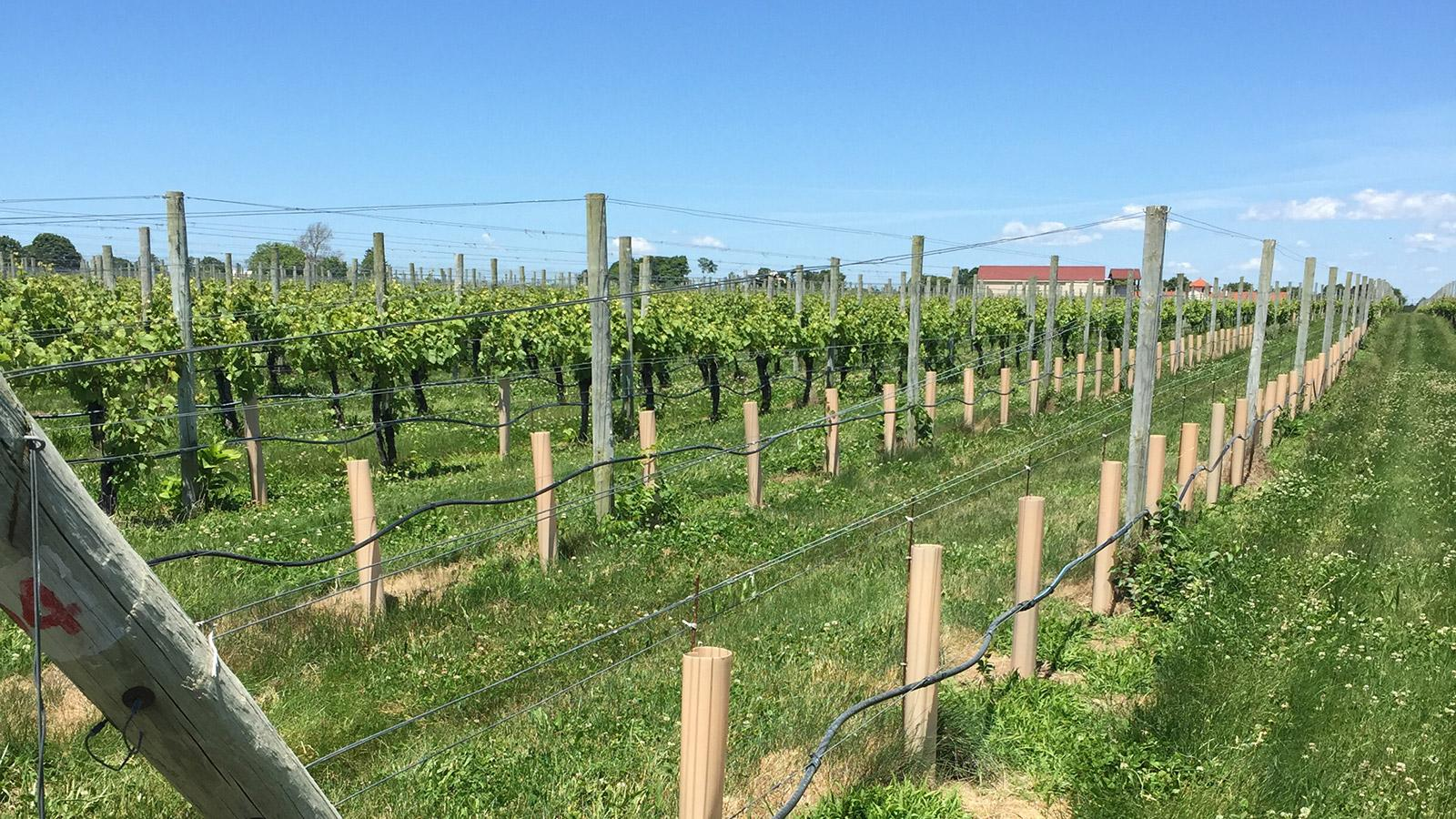 At Raphael, winemaker Anthony Nappa is overseeing new plantings and graftings.