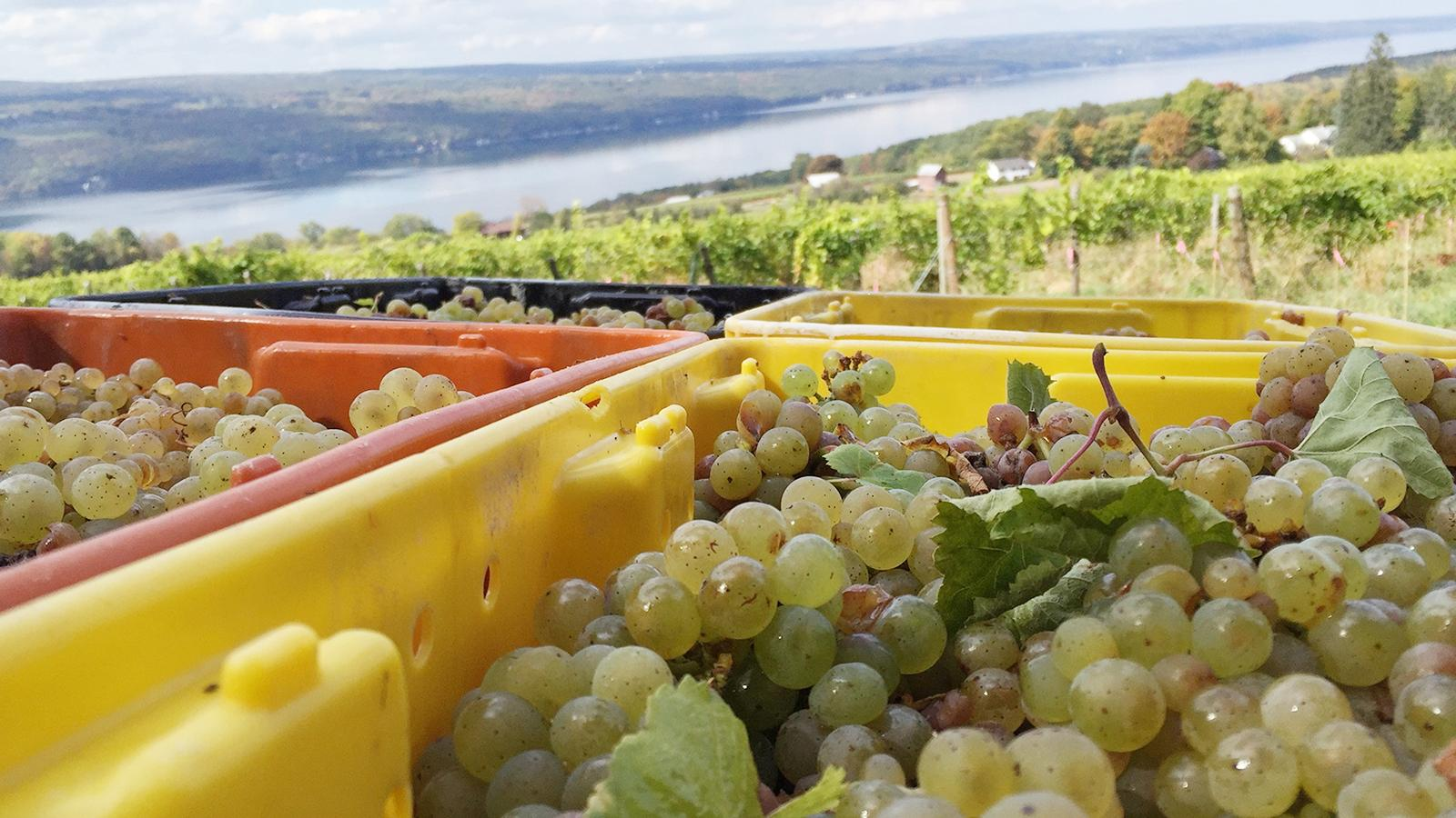 Riesling leads the Finger Lakes' harvest bounty.