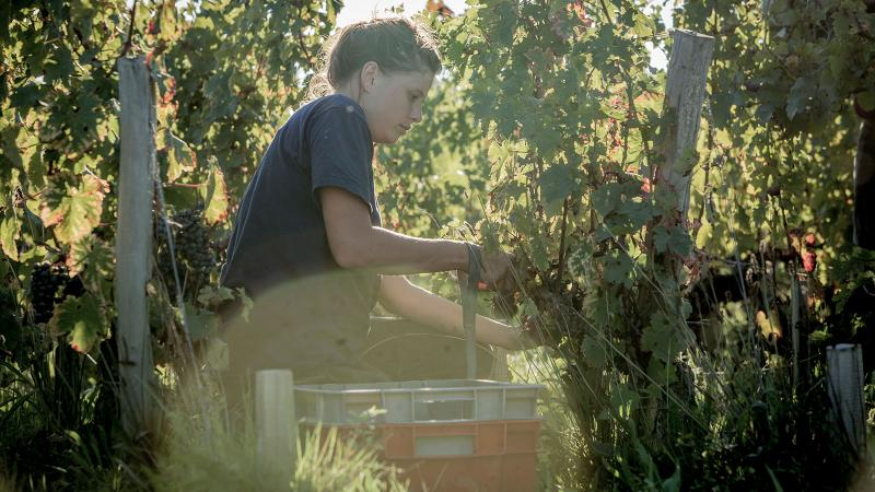 Wine Harvest Report 2016: Bordeaux Enjoys a Warm, Dry Year