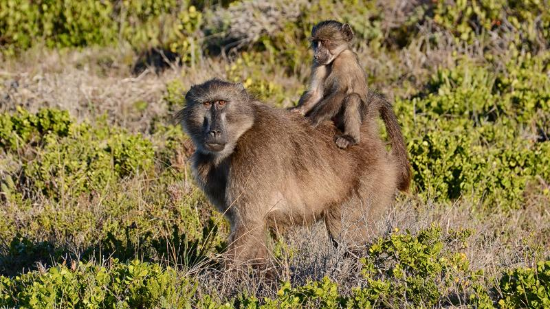 Cape Chacma baboons in South Africa have learned that wine grapes are easy prey.
